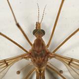Tipula subgenus Lunatipula