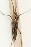Tipula hermannia