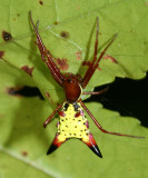 Orb Weavers - Genus Micrathena