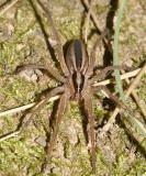 Wolf Spiders - Genus Rabidosa