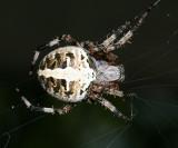 Spotted Orbweaver - Neoscona domiciliorum