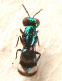 Closterocerus sp.