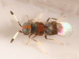 Cheiloneurus sp.