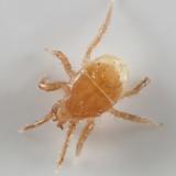 Poecilochirus sp.