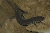 Northern Dusky Salamander - Desmognathus fuscus
