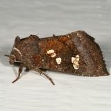 9509 -- Meadow Rue Borer Moth -- Papaipema unimoda