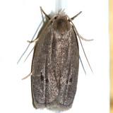 1013 - Antaeotricha unipunctella