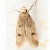 1062 - Carolana ascriptella