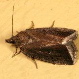 9059 -- Bog Capis Moth -- Capis curvata