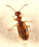 Anthicus cervinus