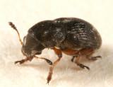 Trigonorhinus rotundatus