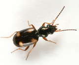 Ground Beetles - Tribe Bembidiini
