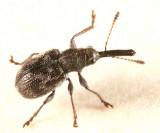 Auletobius cassandrae