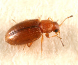 Melanophthalma sp.
