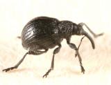 Trichapion nigrum