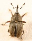 Geraeus picumnus