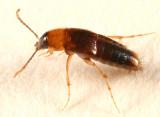 Ischnosoma sp.