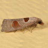 3116 - Triangle-backed Eucosma - Eucosma dorsisignatana
