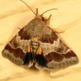 11117 - Lynx Flower Moth - Schinia lynx
