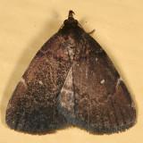 8326 - Rotund Idia Moth - Idia rotundalis
