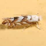 0736 – Aspen Leaf Blotch Miner Moth – Phyllonorycter apparella