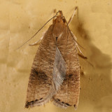 0956 -- Black-fringed Psilocorsis -- Psilocorsis cryptolechiella
