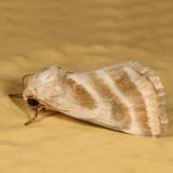 11149 - Three-lined Flower Moth - Schinia trifascia