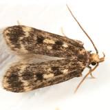 1065 - Martyringa latipennis