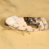 9095 - Small Bird Dropping Moth - Tarachidia erastrioides