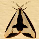 8107 - Clymene Moth - Haploa clymene