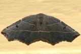 6819 - Pale Metanema Moth - Metanema inatomaria