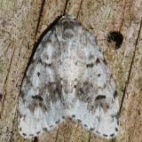 8098.2 - Clemensia umbrata