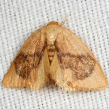 4654 -- Abbreviated Button Slug Moth -- Tortricidia flexuosa