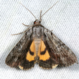 8847 - Graceful Underwing - Catocala gracilis