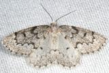 6906 - False Hemlock Looper - Nepytia canosaria (female)