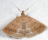 8353 – Wavy-lined Zanclognatha - Zanclognatha jacchusalis