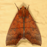 Catocalinae less Catocala Moths  8490 - 8769