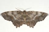 6655 -- Esther Variant Moth -- Hypagyrtis esther