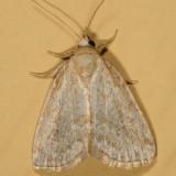 9048 - Pale Lithacodia - Lithacodia albidula
