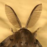 8318 - Gypsy Moth antennae - Lymantria dispar