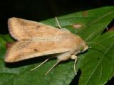 11068 - Corn Earworm Moth - Helicoverpa zea