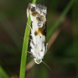 9090 - Olive-shaded Bird-dropping Moth - Tarachidia candefacta