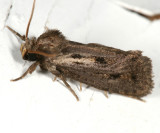0373 – Clemens' Grass Tubeworm Moth – Acrolophus popeanella