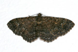 7417 - Somber Carpet - Disclisioprocta stellata