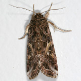 9669 - Yellow-striped Armyworm Moth - Spodoptera ornithogalli