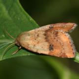 11073 - Spotted Straw Moth - Heliocheilus lupatus