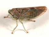 Idiocerus lachrymalis