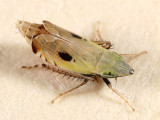 Leafhoppers genus Flexamia