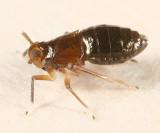 Pissonotus marginatus