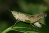 Short-winged Green Grasshopper - Dichromorpha viridis